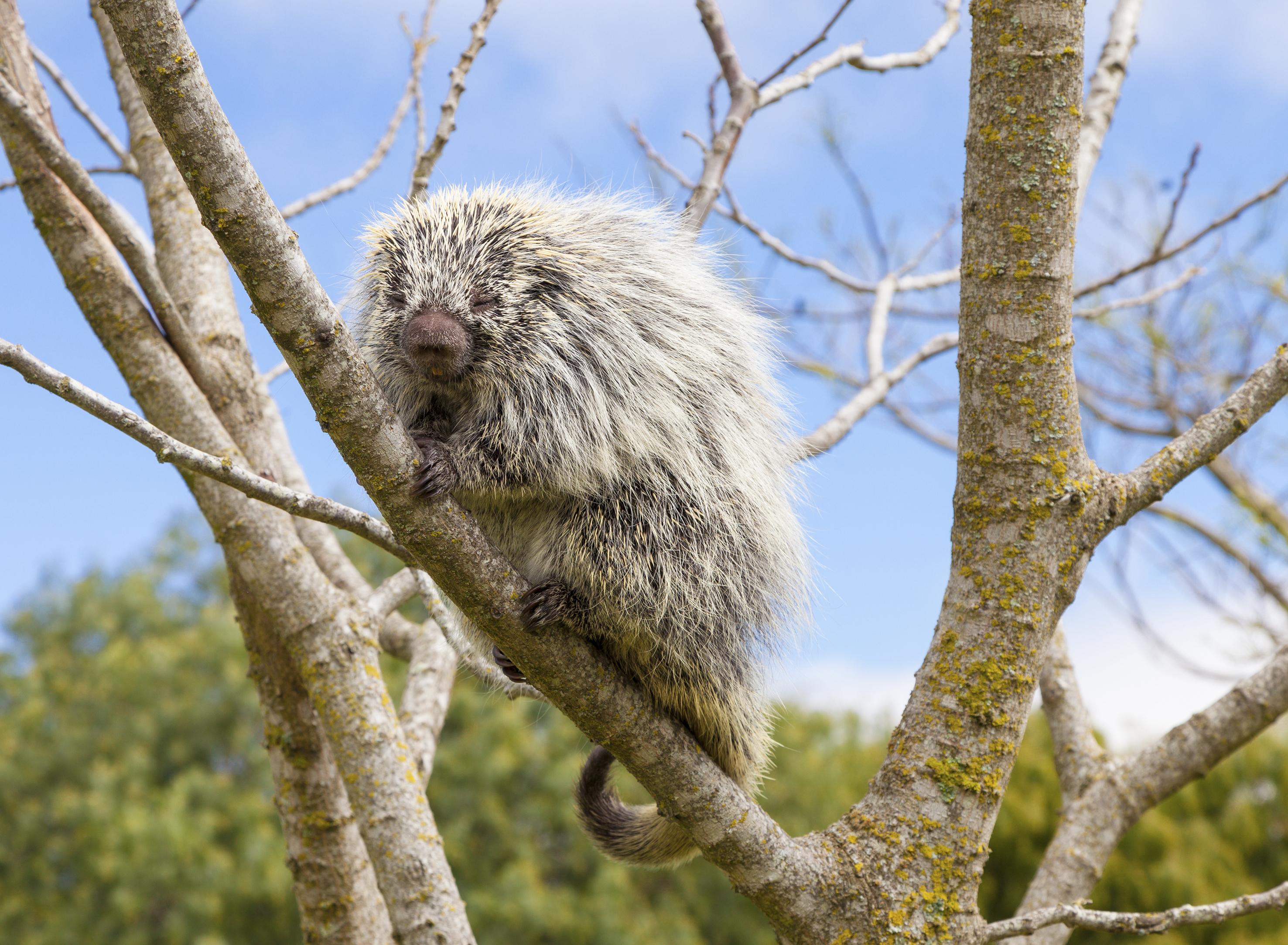 Hairy Tree Porcupine